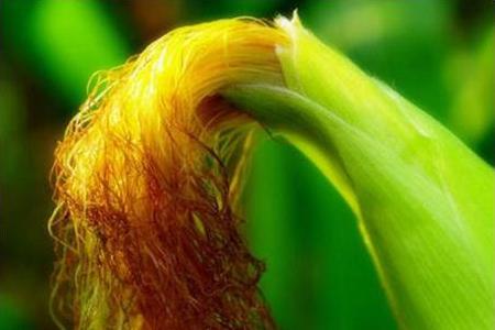 吃玉米的一个小动作,带来唾手可得的健康 - 风帆页页 - 风帆页页博客