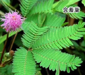 含羞草来源于热带南美洲的巴西