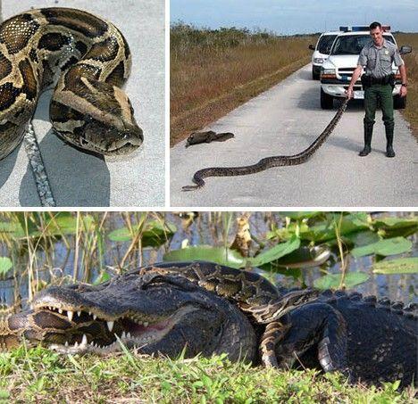 能和鳄鱼搏斗的缅甸蟒蛇
