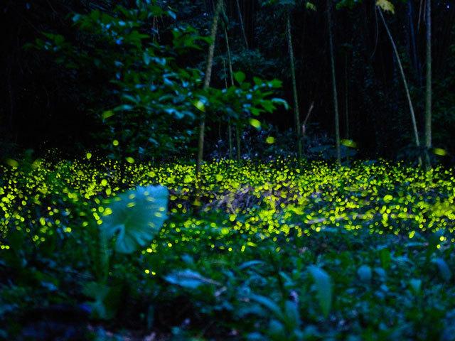萤火虫为什么会发光 知识就是力量 杂志