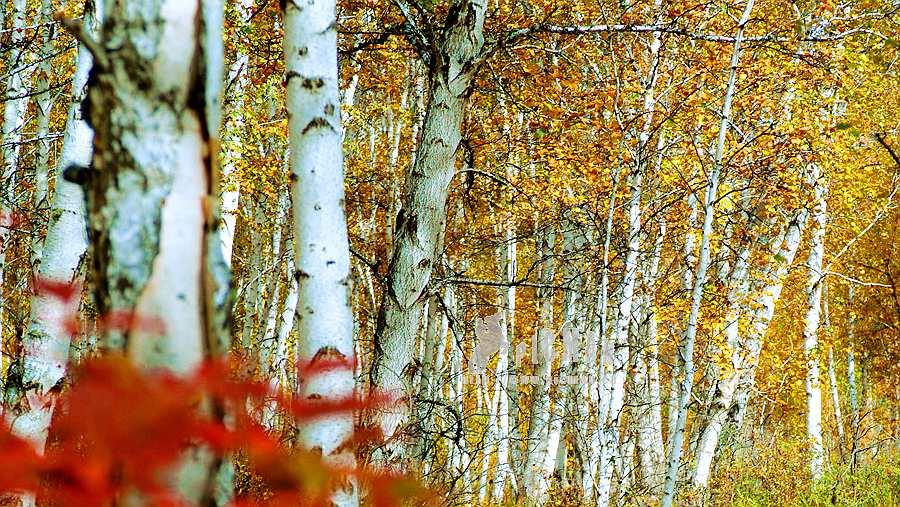 行摄呼伦贝尔兴安岭秋季摄影采风创作团 - 宁静枫林 - 呼伦贝尔长城摄影旅游俱乐部