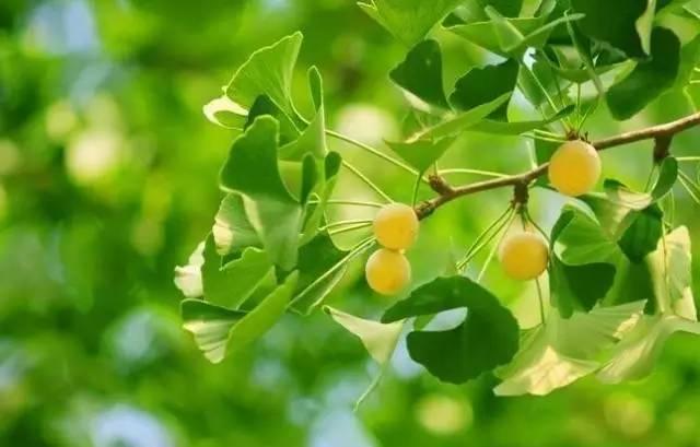 白果经常吃 银杏叶泡水喝,科学吗