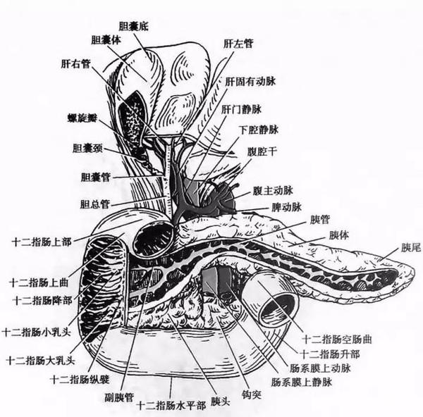 胆总管汇合于肝十二指肠韧带上