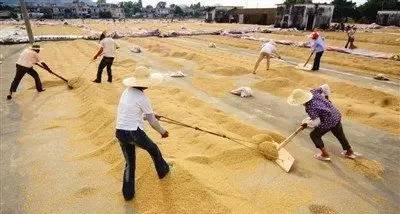 6,车谷子师傅10名,两年工作经验,将稻谷里面的灰和空壳壳完美滴车出去