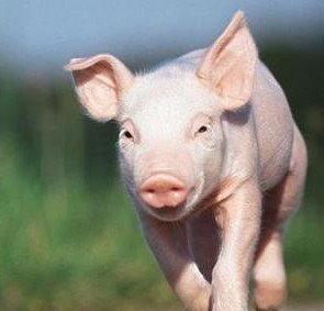 用猪的图片做微信头像好不好