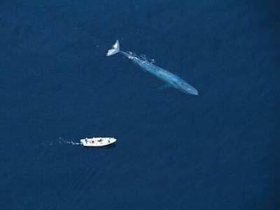 世界上最大的蓝鲸有多大