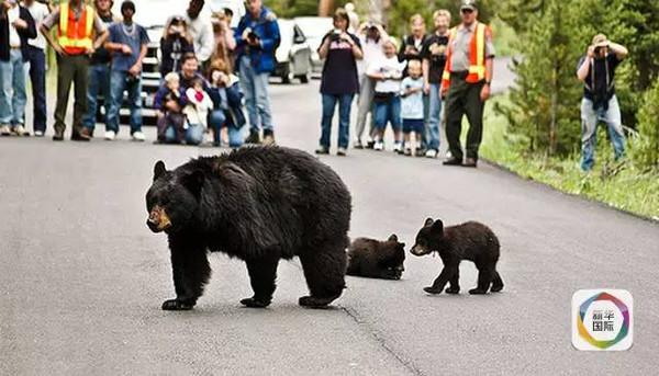 遇到老虎和熊咋办?美国黄石公园教你三招保命!