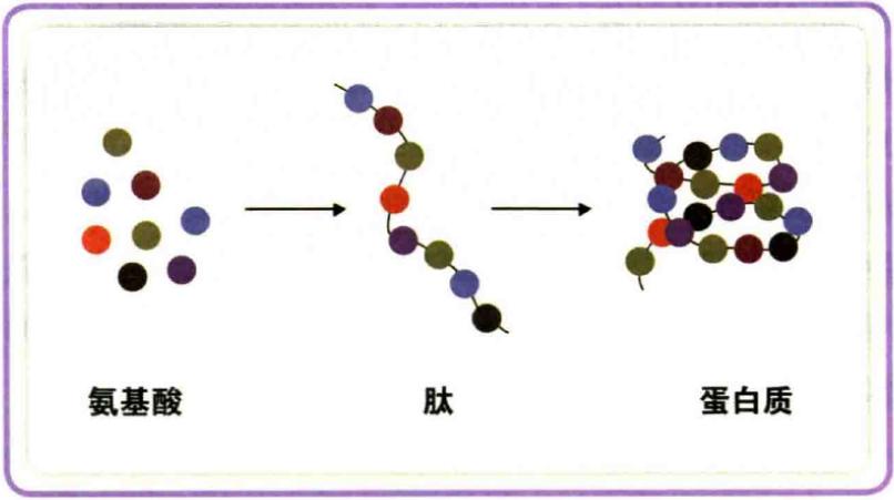 喝肽的原理_减肥、瘦身、瘦脸   作用机理----五肽-25   五肽-25(pentapeptide-25 )是一种有瘦身作用的多肽,可以限制体内脂肪的堆积,减小脂肪细胞内液泡的体积