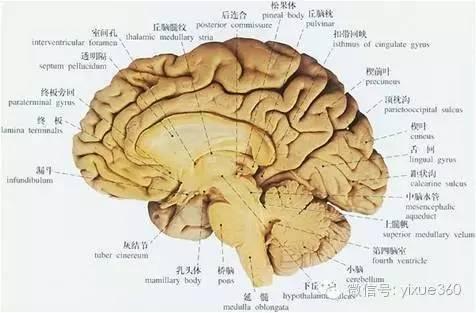 """大脑皮层解剖结构的""""主管""""竟然是遗传因素"""