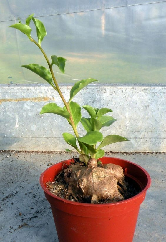 藤三七养得好可以常年收获叶子和嫩茎,都不用买青菜啦!图片
