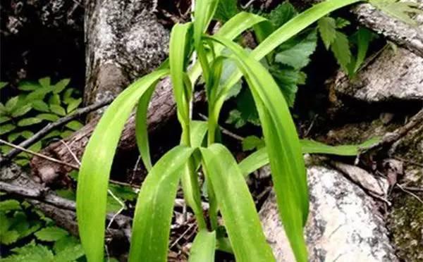 披麻草为百合科藜芦属植物大理藜芦