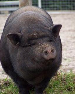 我只是一个养猪的: 一只宠物猪的完美逆袭,结果