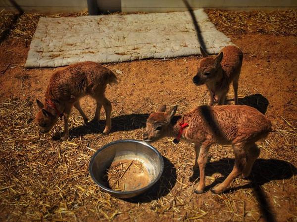 国家一级保护动物——藏羚羊的幼崽