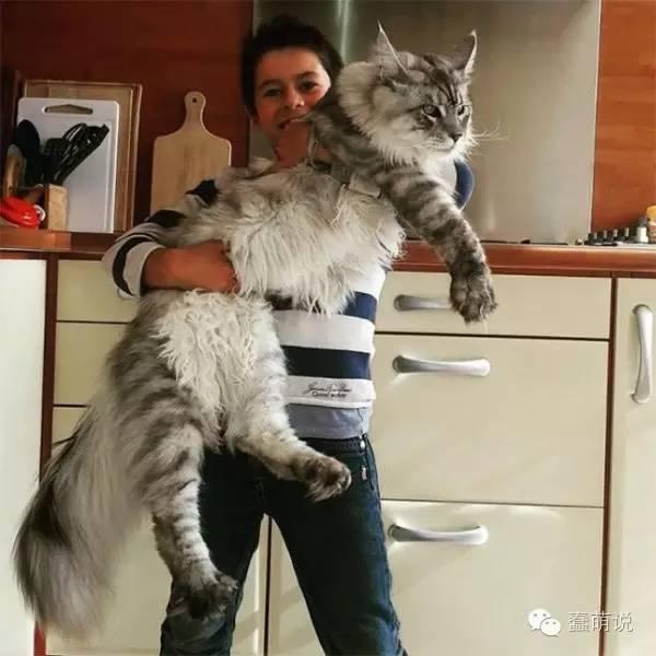 重达25斤的巨型喵星人是什么样子?你也十分好奇吧-蠢萌说