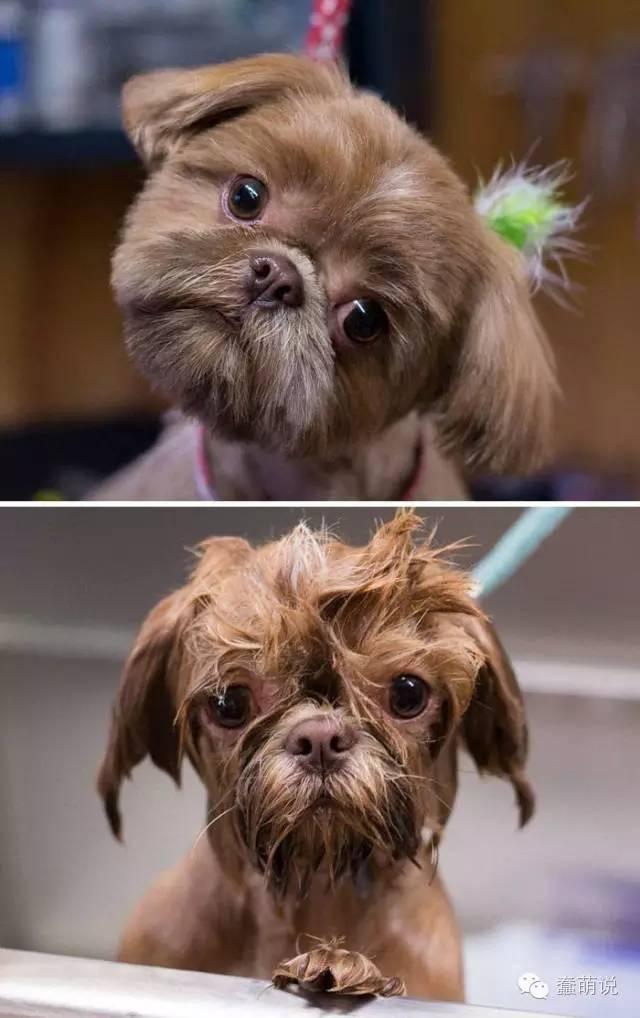 论发型的重要性,那些发型一乱就丑一大截的汪星人-蠢萌说