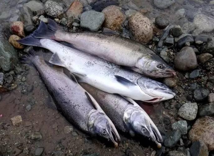 美食 正文  图为加拿大野生鲑鱼 外观 野生鱼生活在流水中,鳞片薄,呈