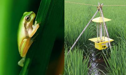 稻田青蛙和稻田诱虫灯   而魏贵生真正的绝招,   是自制的纯天   然驱虫