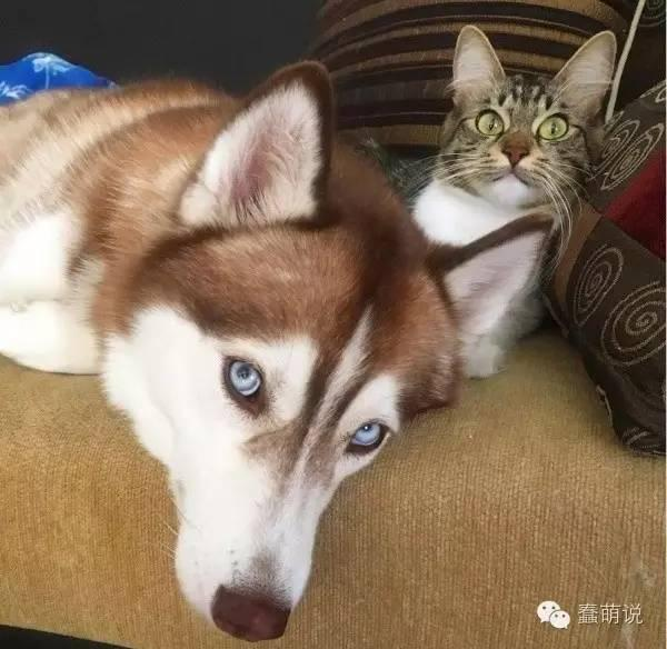 小奶猫被遗弃不肯进食,还好有这只哈士奇及时出现-蠢萌说