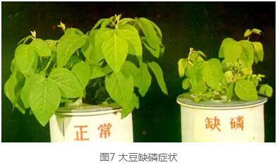 马铃薯缺磷:早期缺磷影响根系发育和幼苗生长;孕蕾