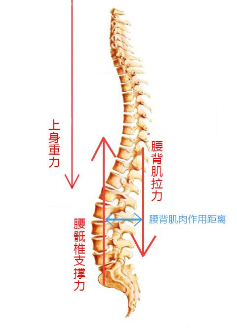 人体生理弯曲_腰椎的生理弯曲结构,是由腰椎间盘前高后低的楔形形状造就的,是个非