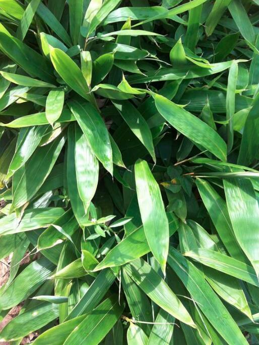 粽叶到底是什么植物的叶子?图片
