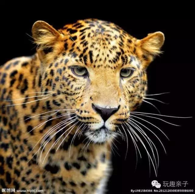 豹子 壁纸 动物 虎