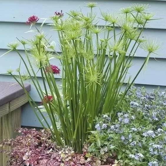 白鳞莎草,就是常见的野草