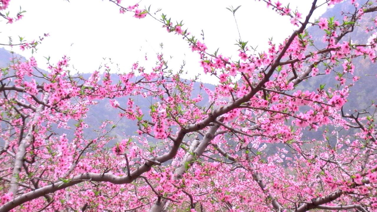 欧美桃花囹c._刘郎就是看个桃花写首诗,至于吗?