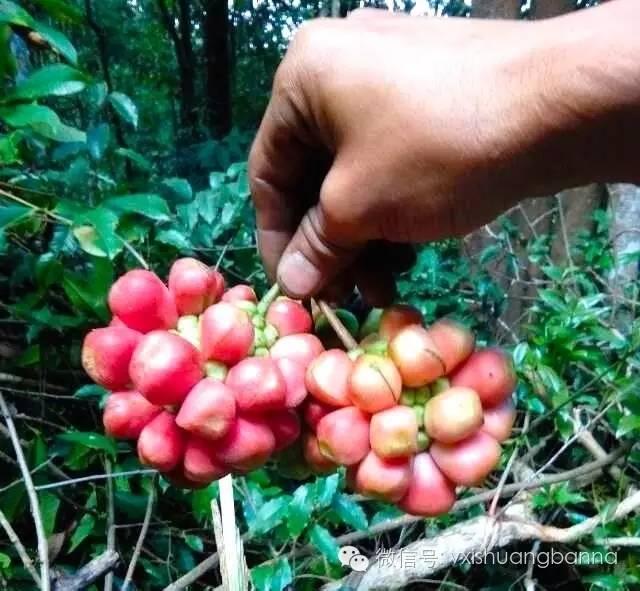 西双版纳当地生长的热带水果及野果 99种