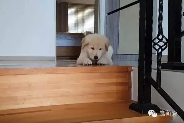 可爱金毛宝宝怕楼梯,简直萌得不要不要的-蠢萌说