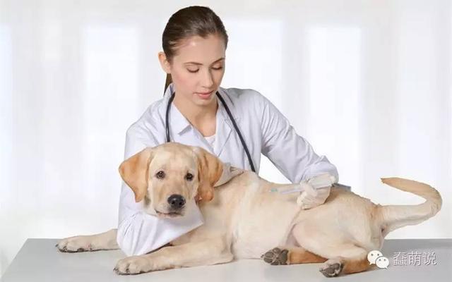 汪星人也怕打针!狗狗打疫苗需要注意的那些事情-蠢萌说