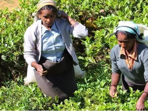 斯里兰卡,去立顿红茶的故乡旅行!