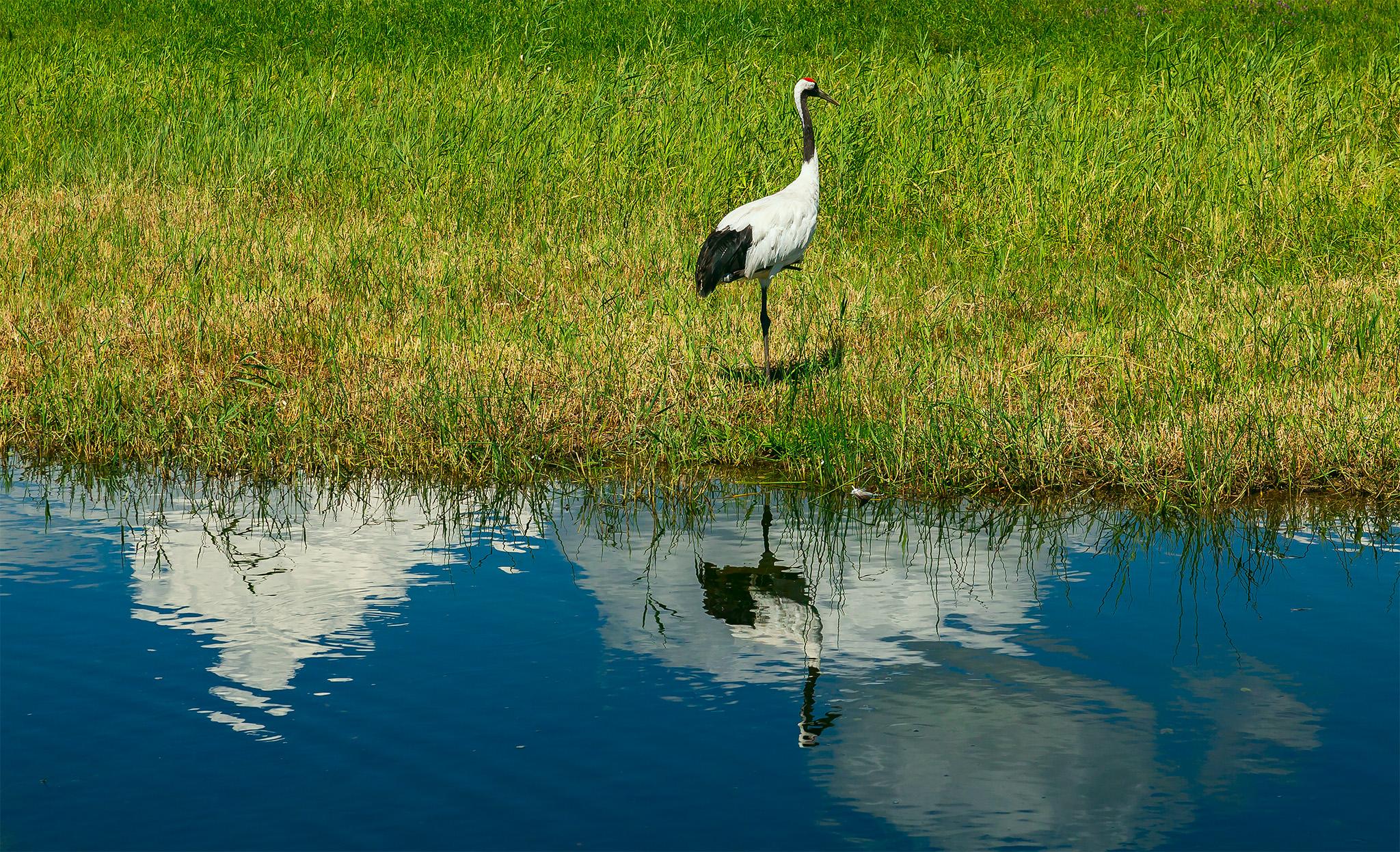扎龙湿地,有丹顶鹤陪伴的夏天