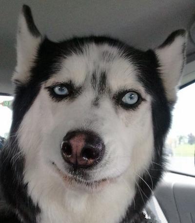 哈士奇狗狗情侣头像