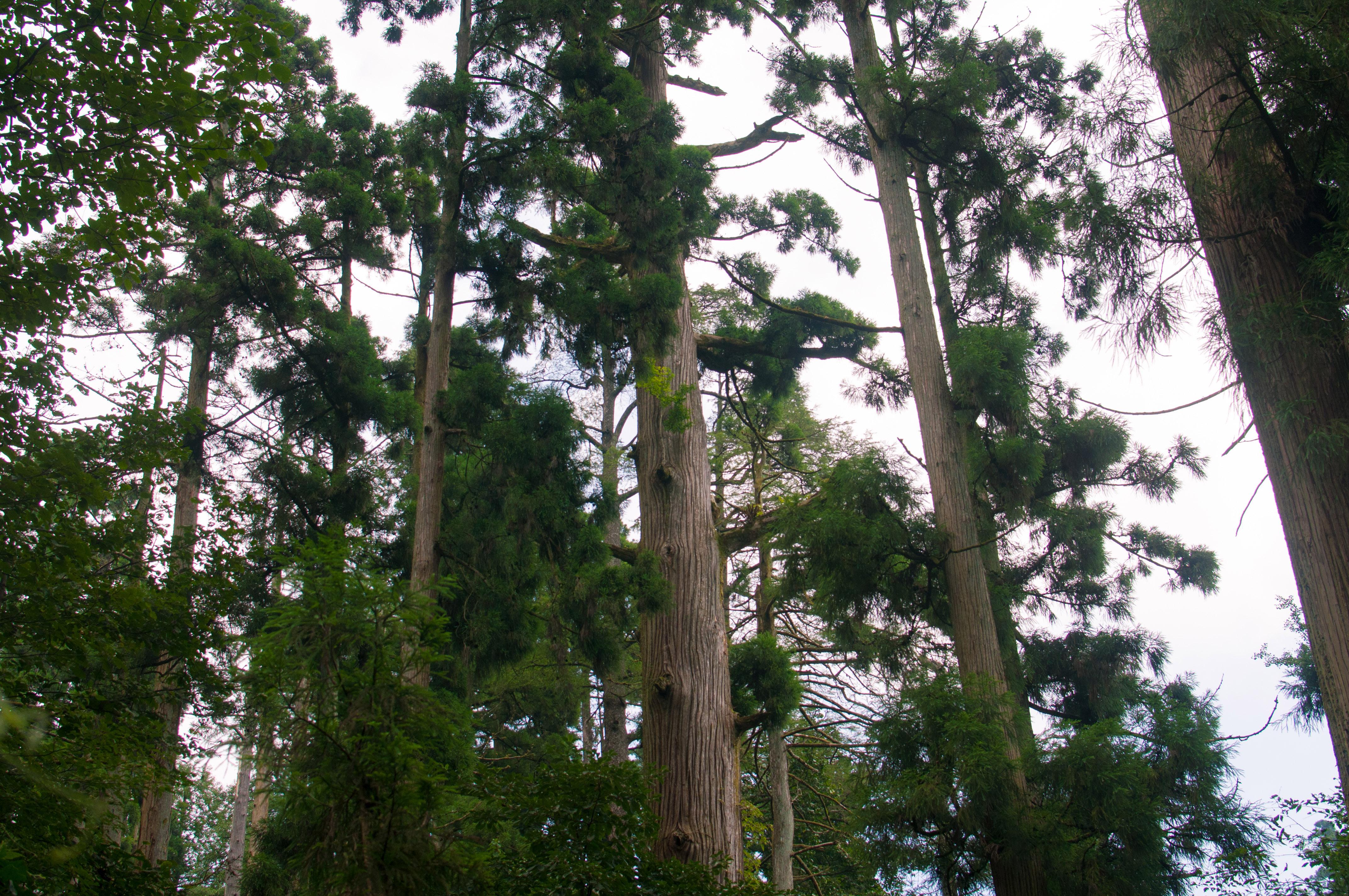 G20期间有个地方不受限,4百多棵古栁杉等你来