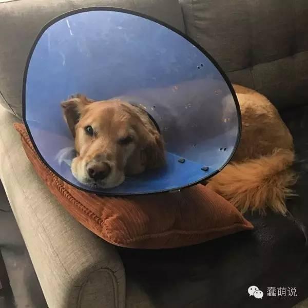 患癌又截肢的金毛犬在小主人呵护陪伴下,终于成功-蠢萌说