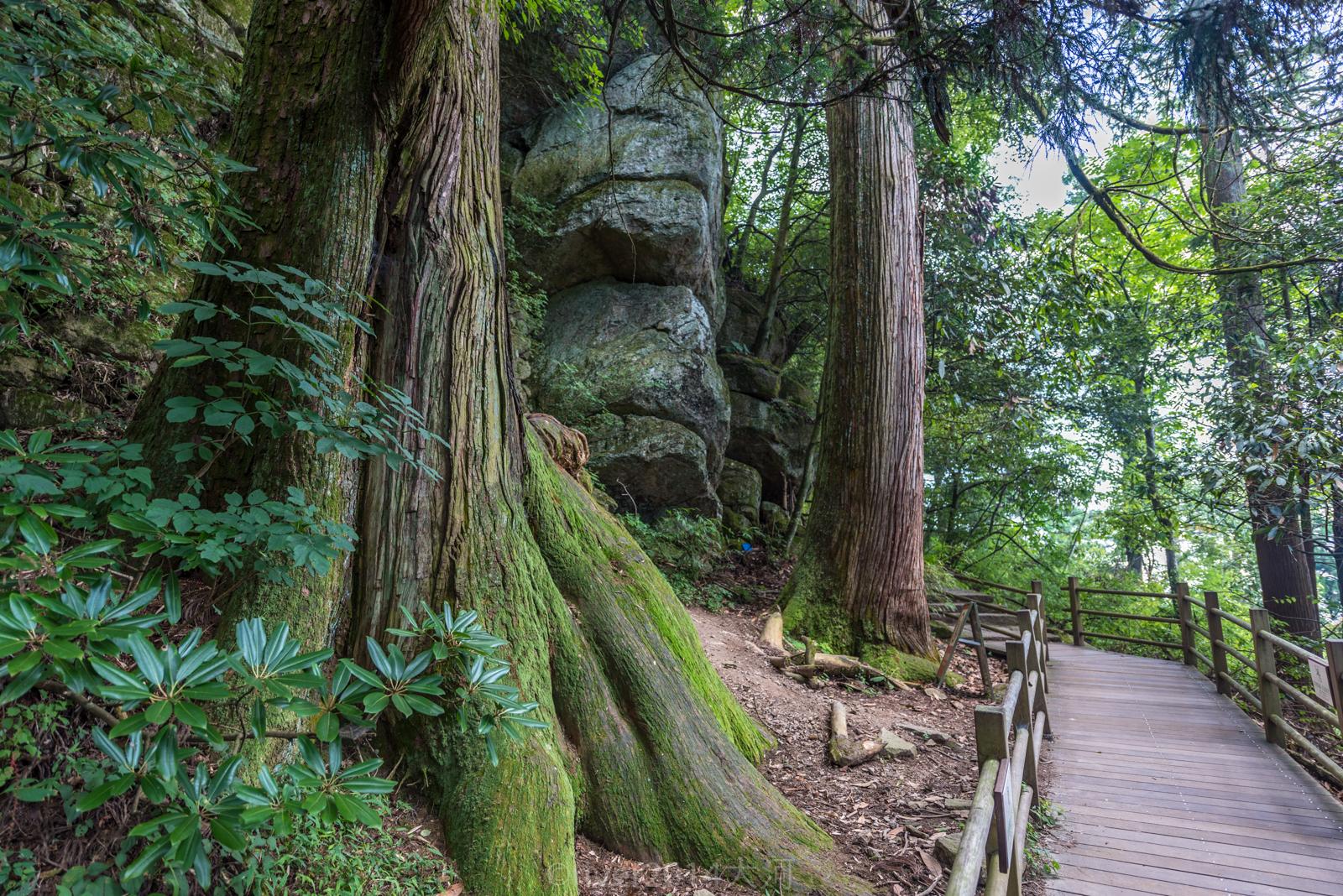 杭州临安西天目山,世界最大古柳杉群