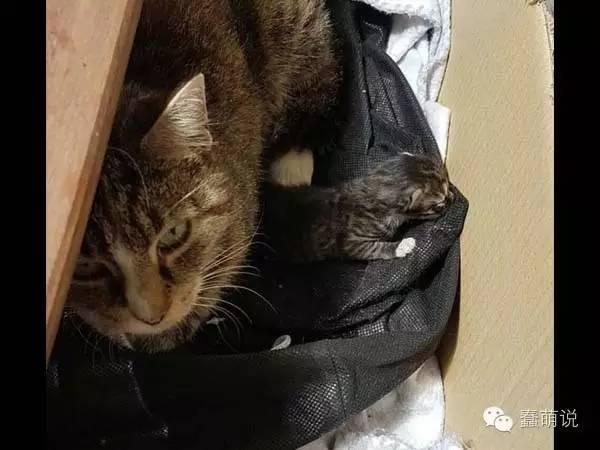 猫妈妈每天蹭饭吃就算了,最后竟把小孩丢包给她!-蠢萌说