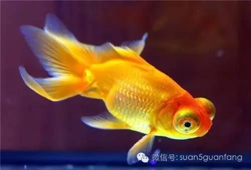 风水鱼-现在观赏鱼大家最喜欢的是哪些品种图片