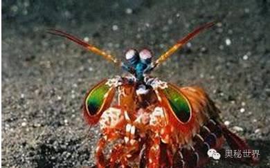 9,雀尾螳螂虾