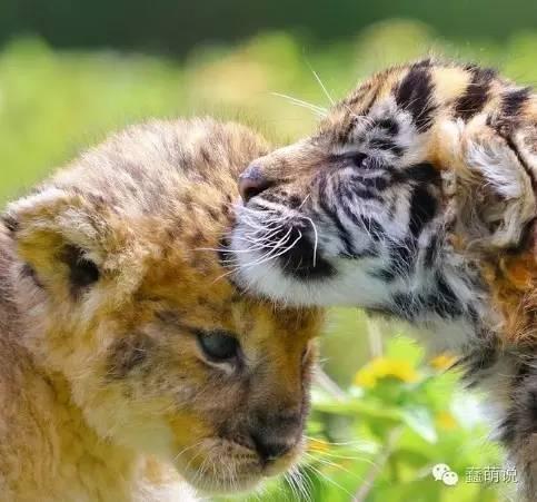 如果不说,谁会想到这俩蠢萌玩意儿一只是狮子一只是老虎?-蠢萌说