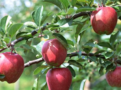 苹果树膨果期的施肥管理技术