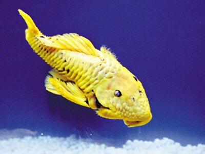 黄金鱼含 24克拉纯金 真相是