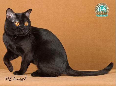 孟买猫和田园黑猫图片