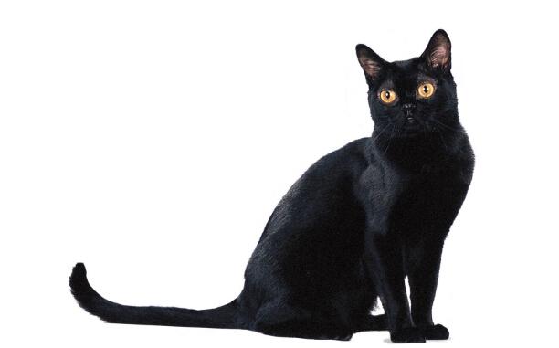就是那个黑猫孟买猫知识科普!_孟买猫和田园黑猫_农村黑猫是孟买猫吗