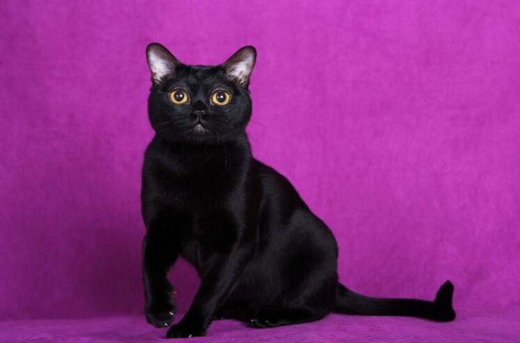 农村黑猫是孟买猫吗图片