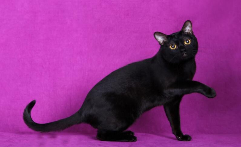 黑猫都是孟买猫吗图片