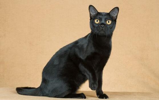 孟买猫跟普通黑猫图片