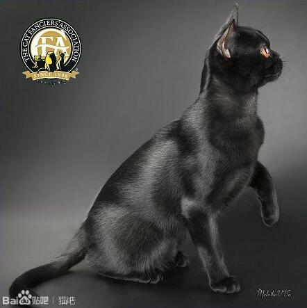 孟买猫与黑猫区别图片