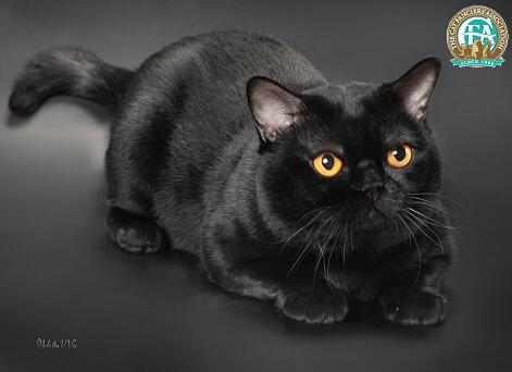 纯黑猫是孟买猫吗图片